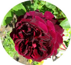 rose-rot-01