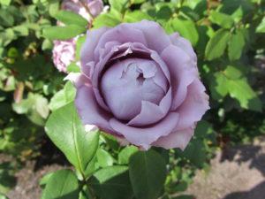 rose-violett-01