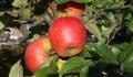 Reife Äpfel am Baum in Diefenbach