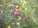 Blühende Blumen am Mont Cenis