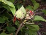 Rhododendronknospe springt auf
