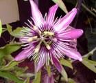 Pssionsblume im Garten Diefenbach