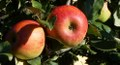 Reife Äpfel im Diefenbacher Garten