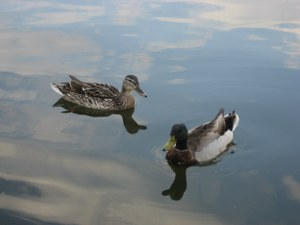 Zwei Enten im Fluss von Robert Kibele