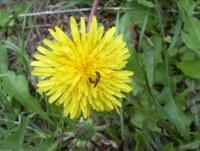 Löwenzahnblüte + Insekt