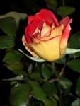 feuerrote Rose