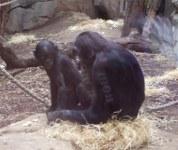Bonobo-Weibchen mit Kind 2011-10-02 Frankfurt/Main-Zoo
