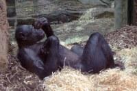 Dösender Bonobo Frankfurt/Main- Zoo