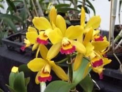 Gelbe Orchideen