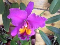 Lila-pinkfarbene Orchidee