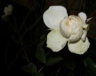 Rose im Dezember - Hoffnung