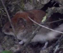 Maus vor dem Loch