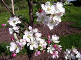 apfelblüten-01_267x200