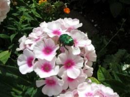 Rosenkäfer auf Phlox