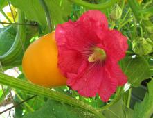 Hokkaido-Kürbis und Stockrosenblüte aneinder geschmiegt