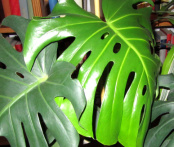 philodendron_Kopie