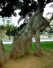 torremolinos-gummibaum-klein