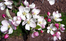 apfelblüten-01_Kopie