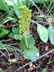 Zweiblatt-Orchidee