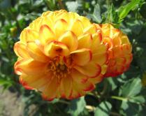 dahlie-gelb-orange-01