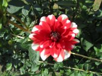 dahlie-rot-weiß-06