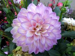 dahlie-weiß-violett-02