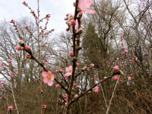 Mandelblüte in Diefenbach 08.02.2016