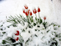 tulpen-im-schnee_Kopie