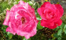 alte-und-neue-rose
