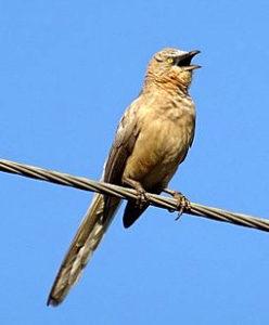 vogel-singt
